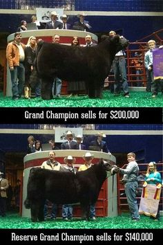 Fort Worth Stock Show and Rodeo. Grand and reserve champion steer.