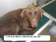 Dillon is a nice 5 yr old lab colli mix boy who would be a great new friend He needs to be someone's special dog. The shelter is FULL, Please don't leave him there. . Call Silvia and Debbie now,,,,,Silvia is 910-876-0539 and Debbie is 339-832-0806. If Silvia's mailbox is full you can Text her. Transportation is generally available up and down the East Coast from NC, VA, MD, NJ, PA, NY and the North East