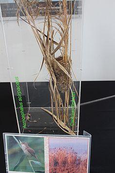 Nido de Carricero común-Boscarla de canyar-Acrocephalus scirpaceus. Exposición en el Delta Birding Festival 2017.