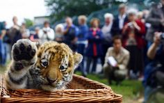 Little tiger, waving.