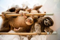 Aviarios del Caribe: Sloth Sanctuary – Cahuita, Costa Rica | Atlas Obscura