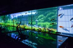 Amazing 8m x 2m fish tank with Koi and video wall showing four seasons