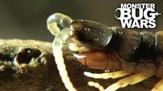 Army Ants vs Rainforest Land Crab | MONSTER BUG WARS - YouTube