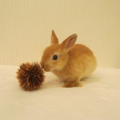 rabbit#bunny#cute#netherlanddwarf
