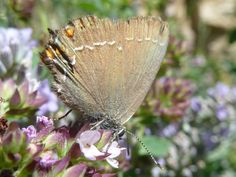 Satyrium acaciae. The Sloe Hairstreak. #butterflies #mariposas #vlinders