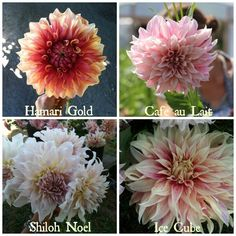 Different types of Dahlias this is the dinner plate series, but also check out ones like coral, and apple blossom on this website