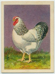 From New York Public Library Digital Collections. Junk Art, Down On The Farm, Drawing Artist, Coq, New York Public Library, Roosters, Natural History, Fairy Tales, Maine