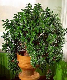 Houseplant Care guide: Jade Plant