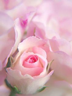 gyclli:  Pink Rose *** By tanakawho