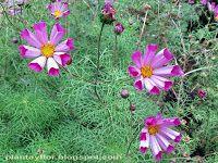 Plantas y flores: Cosmos bipinnatus