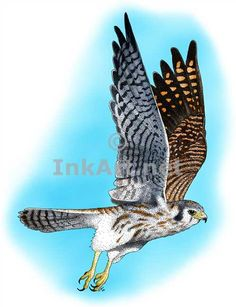 Full color illustration of an American Kestrel (Falco sparverius)
