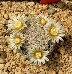 Mamillaria viescensis - Flickr - Photo Sharing!