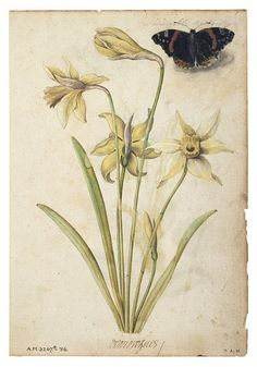 Flowers Drawings Inspiration : Daffodils and a Red Admiral Butterfly Le Moyne de Morgues Jacques 1533 1588 Botanical Flowers, Botanical Prints, Illustrator, Sibylla Merian, Plant Painting, Renaissance, Plant Illustration, Science Illustration, Botanical Drawings