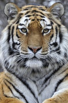Funny Wildlife, Sibirischer Tiger by Michael. Big Cats, Cats And Kittens, Cute Cats, Nature Animals, Animals And Pets, Cute Animals, Wild Animals, Tiger Wallpaper, Animal Wallpaper