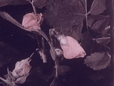 """""""Hand-tinted time lapse footage of roses, c.1925, filmed by Arthur Edward Pillsbury. """""""