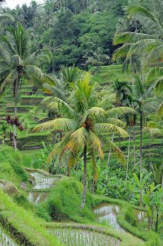 coconut palms in the midst of rice terraces, Ubud, Bali, Indonesia