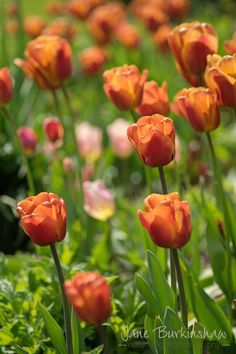 Beautifully backlit tulips #tulips #flowerphotography #photographycourses www.loveyourlens.co.uk Forever Flowers, Flower Photography, Photography Courses, Photography For Beginners, Tulips, Flower Arrangements, Plants, Beauty, Beautiful