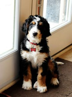 What a beautiful pup! It's a Bernedoodle. (That's a Bernese Mountain Dog and Poodle mix.)-:
