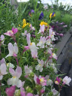 Linaria Fairy Blend by #botanicalinterests