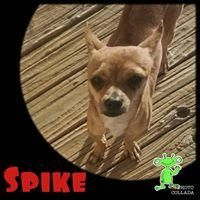 Chihuahua dog for Adoption in Oro Valley, AZ. ADN-480139 on PuppyFinder.com Gender: Male. Age: Adult