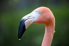 Flamingos are a very popular download item on the site. They certainly are magnificent birds.