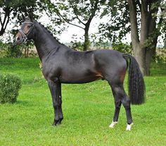brown - Hanoverian stallion Fürst Highness