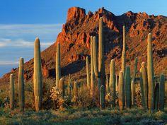 organ pip cacti