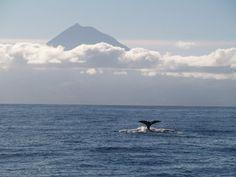 Azorean spirit Islands, Whale, Spirit, Animals, Vegetable Garden, Animales, Animaux, Whales, Animal Memes