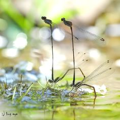 dragonflies ... the lovers