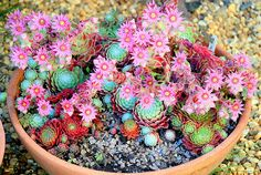 Flowering sempervivums. These really are beautiful plants.