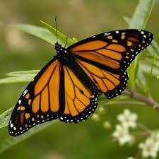 mariposa monarca - Buscar Con Google