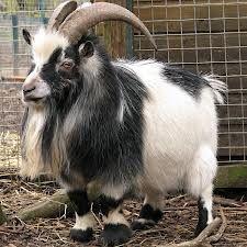 pygmy sheep for sale - Поиск в Google