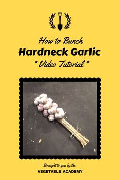 """Learn how to bunch your hardneck garlic to add some class and prepare it for storage. To see the full video tutorial, head to our online Classroom and type """"garlic bunching"""" in the search bar. The post will pop right up for you. Online Classroom, Garden Projects, Vegetable Garden, Gardening Tips, Garlic, Food And Drink, Vegetables, Bar, Type"""