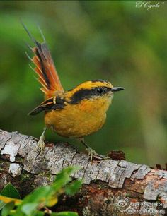 棘尾雷雀,拉丁学名 Aphrastura spinicauda,英文Thorn-tailed Rayadito