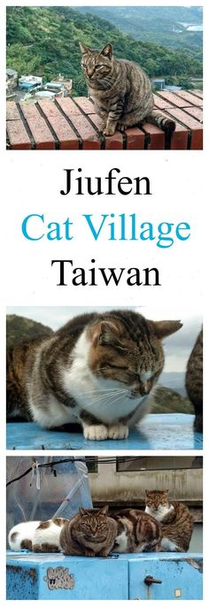 """What to do in Taiwan? Visit the cute cats of """"cat village"""" Jiufen. Read more: http://www.traveling-cats.com/2014/05/cats-from-jiufen-taiwan.html (Jiufen / Taiwan / cat village / cute cats / What to do in Taiwan? / What to visit in Taiwan? / Taiwan travel / Taiwan village / Taiwan vacation / Taiwan Jiufen)"""