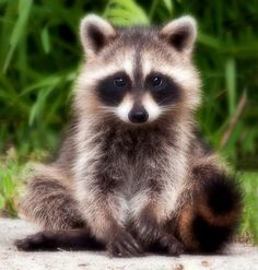 Sitting Raccoon
