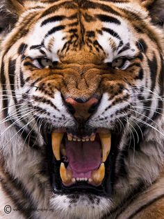 Norro Dhensély ( Angry Tiger )