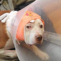 This pit bull took a bullet to the head to protect his owner, and survived. Pitty <3. Also, did you know that Pitts were originally called Nanny Dogs because they were used as babysitters for children? :D so cute.