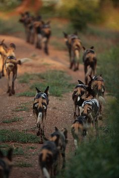 African Painted Dogs Riley's family @Jesse Roman