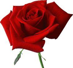 png rosas rojas - Buscar con Google