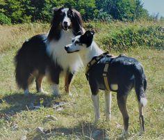 Shetland Sheepdog & Terrier-Mix