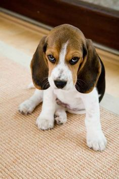 Are you interested in a Beagle? Well, the Beagle is one of the few popular dogs that will adapt much faster to any home. Cute Beagles, Cute Puppies, Cute Dogs, Dogs And Puppies, Art Beagle, Beagle Puppy, Beagle Names, Female Dog Names, Sweet Dogs