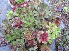 Sempervivum Sphere in May 2013 DIY make in JULY...possibly sooner if weather allows.  Would be awesome entry of salon!!