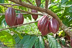 K Catchpole - E Mohl ‏ @TransAmericas  #Chocolate, where does it come from? Have you ever seen a cacao growing? yfrog.com/o0w6bbyj #FriFotos Theobroma Cacao, March, At Least, Things To Come, Chocolate, Chocolates, Brown, Mac, Cocoa