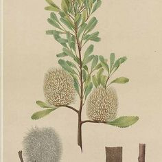 banksia ornata - south australia South Australia, Geo, Plants, Plant, Planets