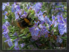 Provence, abeille sur romarin... http://mistoulinetmistouline.eklablog.com/