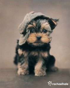 Maxwell (Yorkshire Terrier Puppy) - How can you put a cap on cuteness, wonders Maxwell.