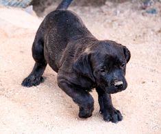 www.elitek-9.com  #bandogge, #protectiondogs, #CEO, #militaryk9, #exotics #vonriesig American Bandogge Mastiff, Executive Protection, Working Dogs, Luxury Life, Dog Training, Doggies, Labrador Retriever, Travel, Animals