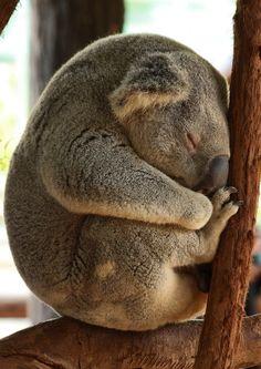 Koala resting