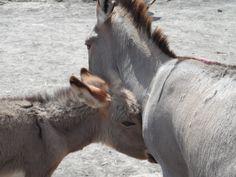 World Vets International Aid for Animals. Donkeys in Arusha Tanzania. www.worldvets.org